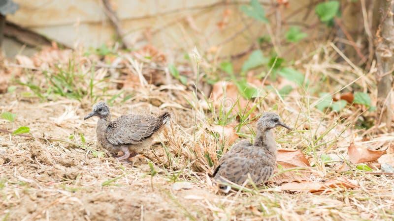 Baby bevlekte duiven ter plaatse royalty-vrije stock fotografie