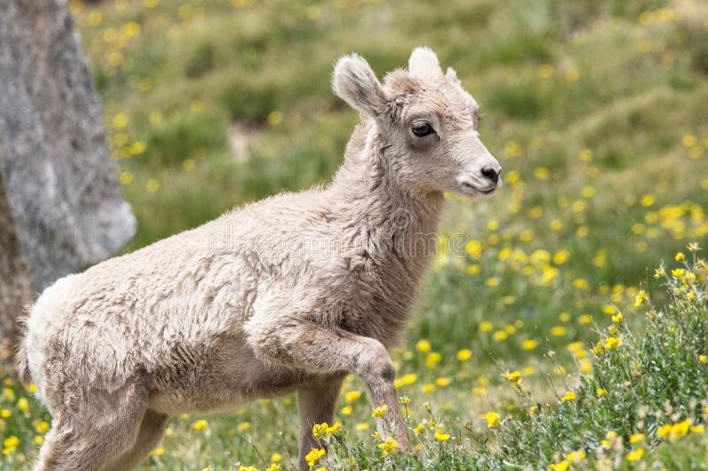 Baby Big Horn Sheep in a field of flowers at Mt. Evans, Colorado. This is a baby big horn sheep near the top of Mt. Evans near Idaho Springs, Colorado stock photography