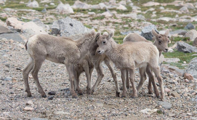 Baby-Bighorn-Schafe auf Mt Evans in Colorado lizenzfreies stockbild