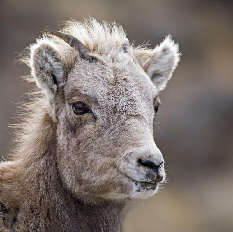 Baby Bighorn Sheep lamb close-up
