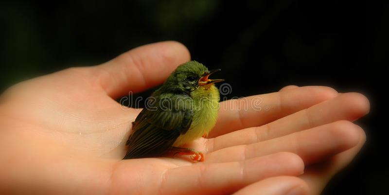 Baby bird in hand with beak open (color) royalty free stock photography