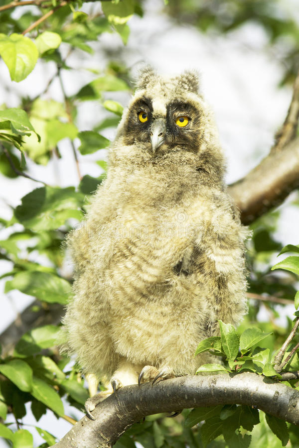 Download A Baby Bird Of Long-eared Owl (Asio Otus) Stock Photo - Image: 31227926