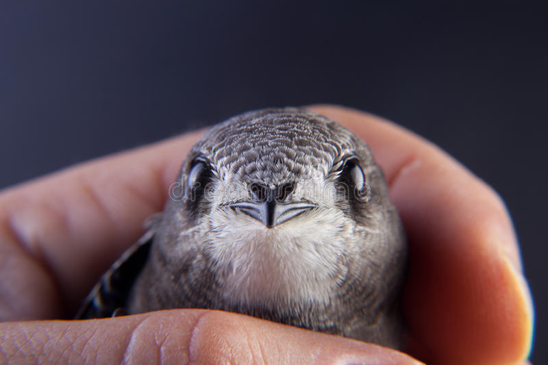 Baby bird in my hand royalty free stock photo