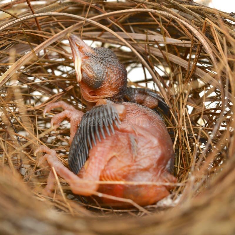Baby bird in a nest stock photos