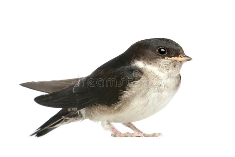 Baby bird of a swallow royalty free stock photography