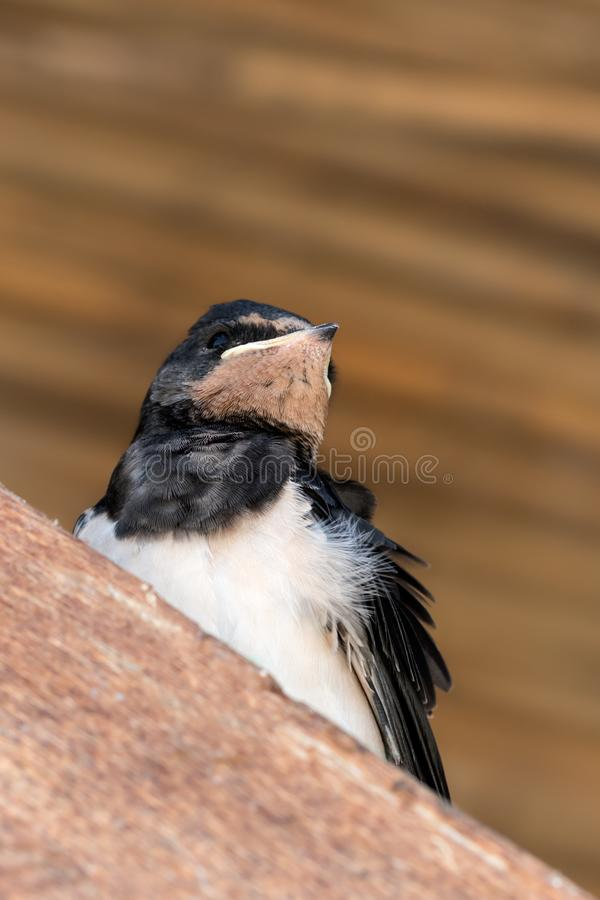 Baby bird of swallow sits on sunlit wooden beam. Under roof. Close-up view royalty free stock photos