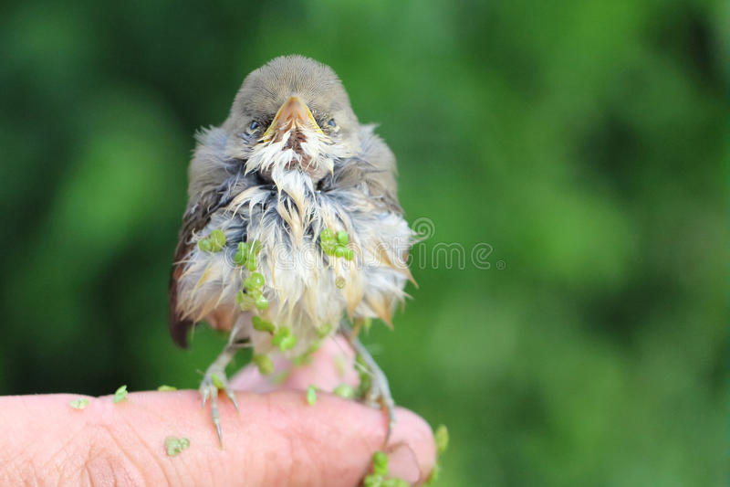 Baby bird of a thrush in a duckweed sitting on a finger royalty free stock images