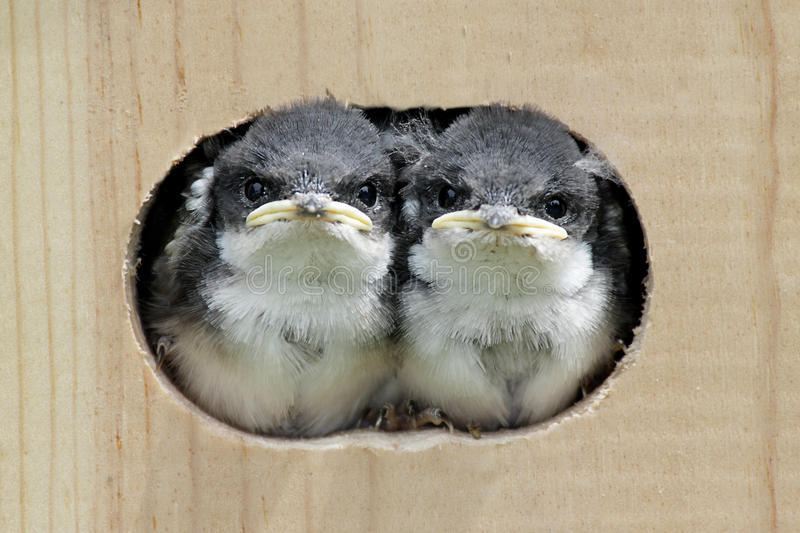 Baby Birds In a Bird House stock images