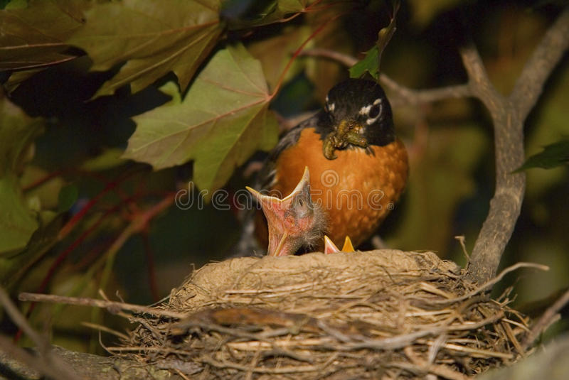 Baby Birds Mother Robin Feeding Chick stock photo