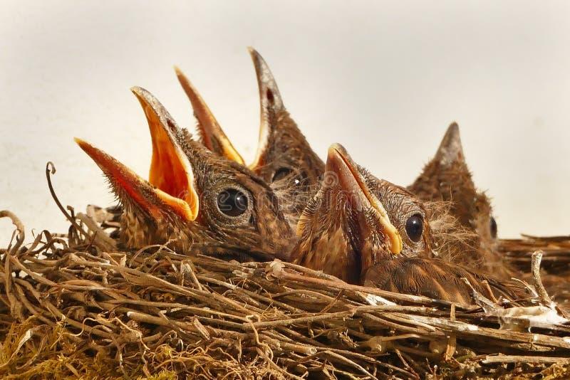 Baby Birds In Nest Free Public Domain Cc0 Image