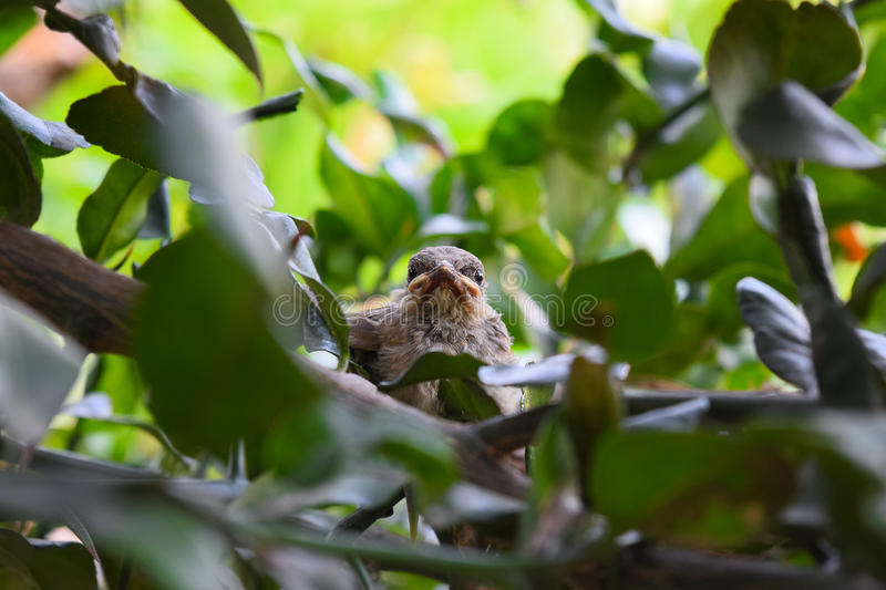 Baby birds in a nest looking for. royalty free stock image