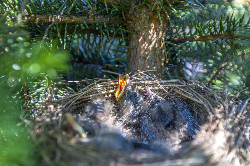 Baby birds in nest with mouths open stock photos