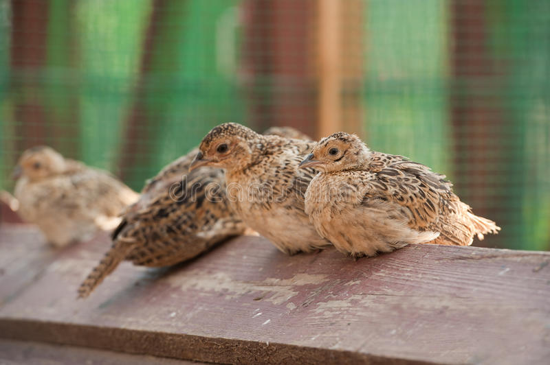 Baby birds of a pheasant. Four baby birds of pheasant on farm stock images
