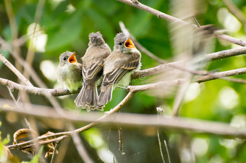 3 baby birds sitting on a branch waiting to be fed stock images