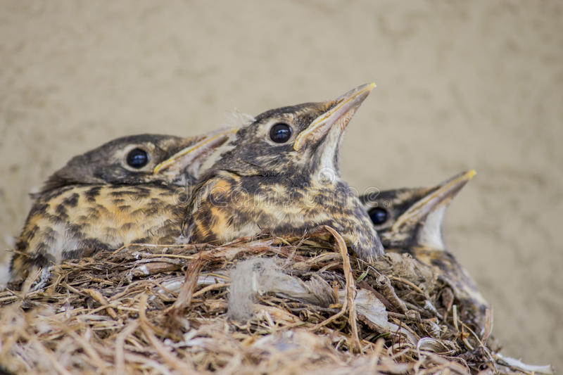 Baby birds. Stoic little birds waiting for mom royalty free stock images