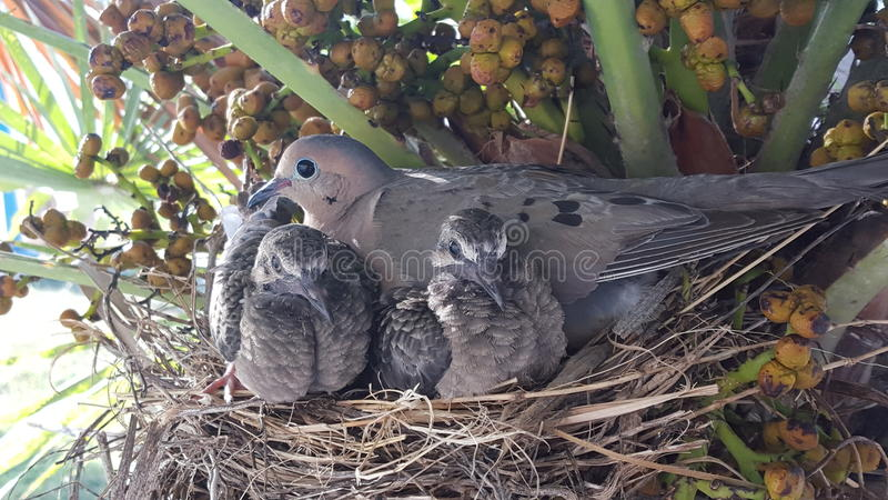 Baby birds and their mother royalty free stock images