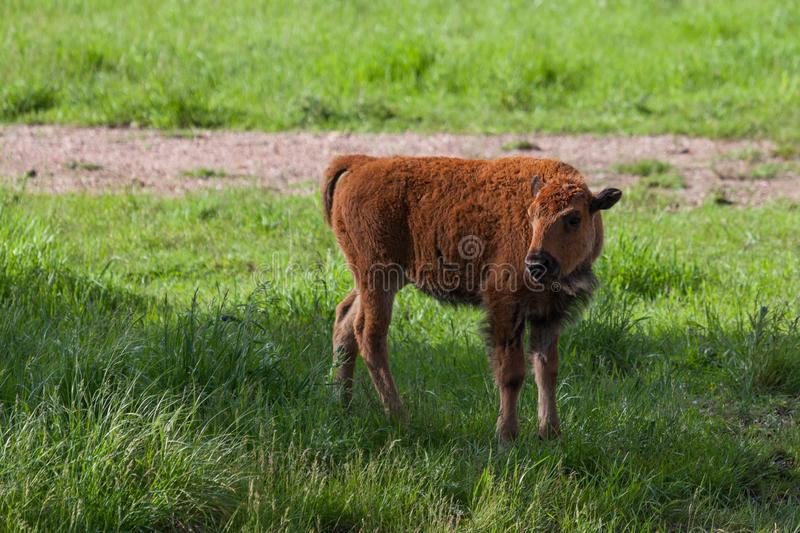 Baby Bison royalty free stock images