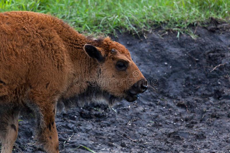 Baby Bison Profile stock image