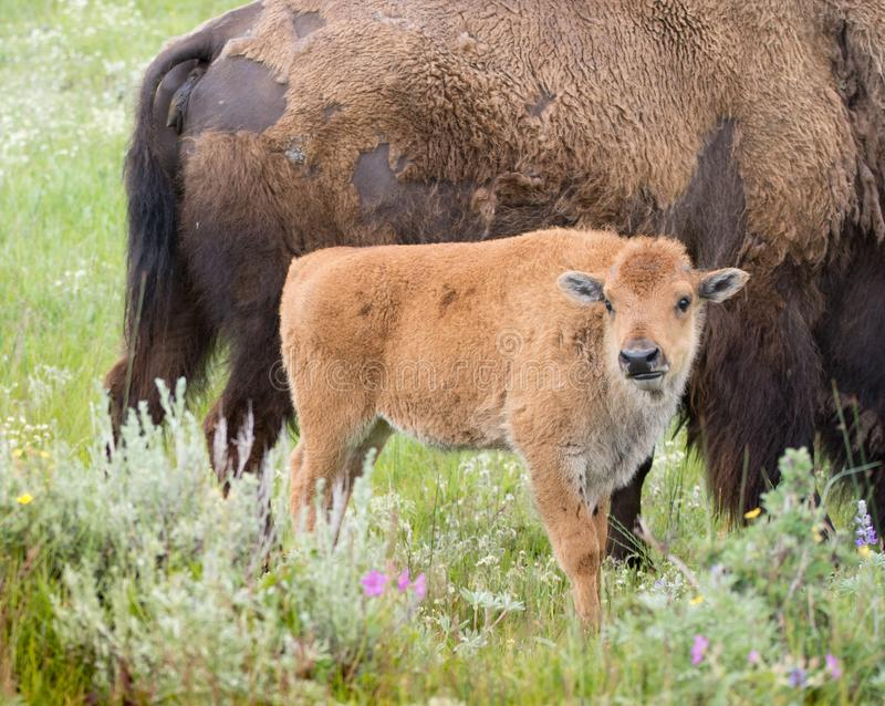 Baby Bison Standing Near Mother. Baby Bison standing near its mother with grass and wildflowers in the foreground. Photographed in natural light in Yellowstone royalty free stock image