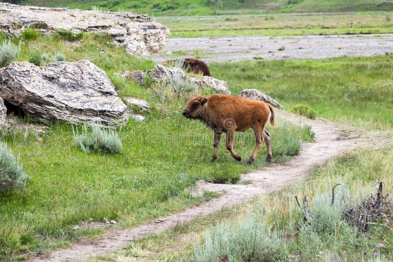 Baby Bison in Yellowstone. A baby bison walking by a well worn trail and a dormant hot springs mound at Yellowstone National Park, Wyoming stock photography