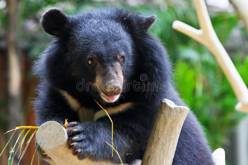 Download Baby black bear stock photo. Image of animal, foreleg - 24109484