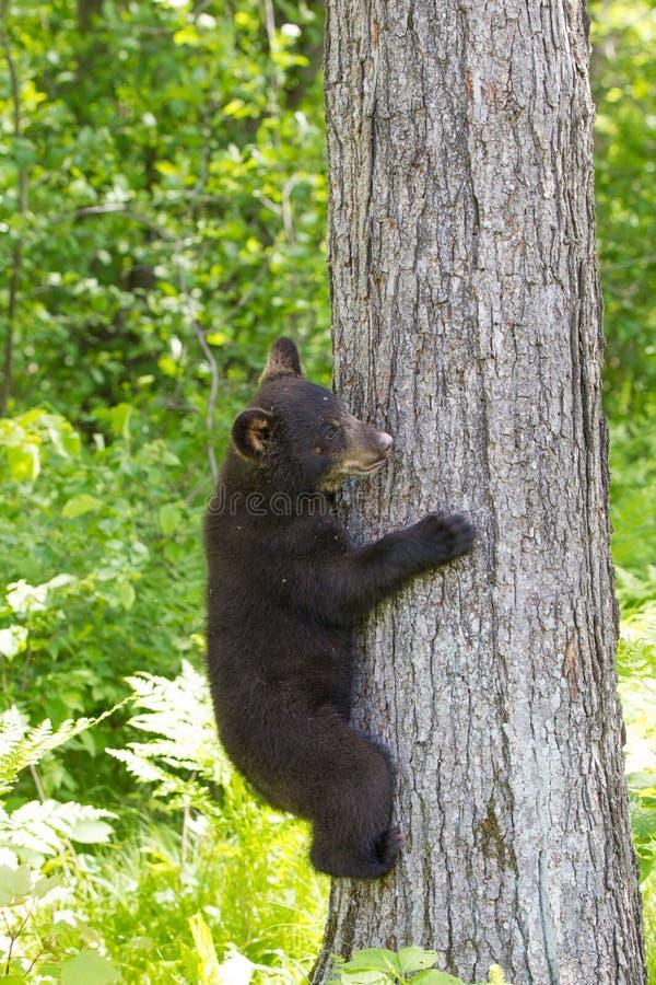 Baby black bear cub stock photo