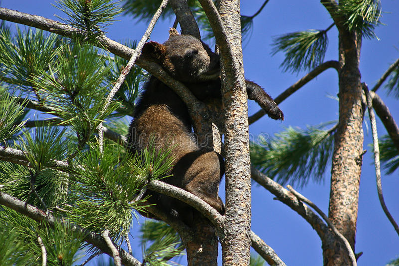 Baby black bear up on a tree royalty free stock photos