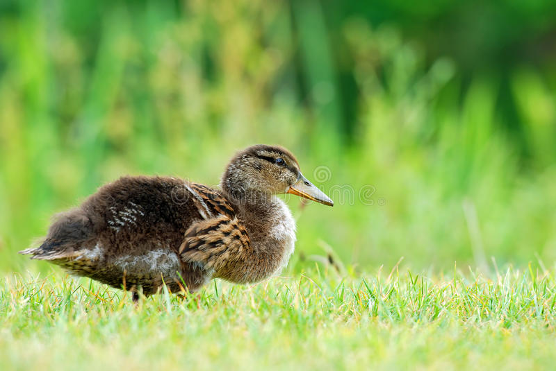 Baby Black Duck Stock Photography