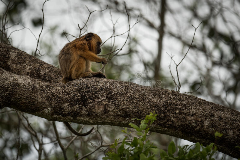 Baby black howler monkey sitting on branch royalty free stock photo