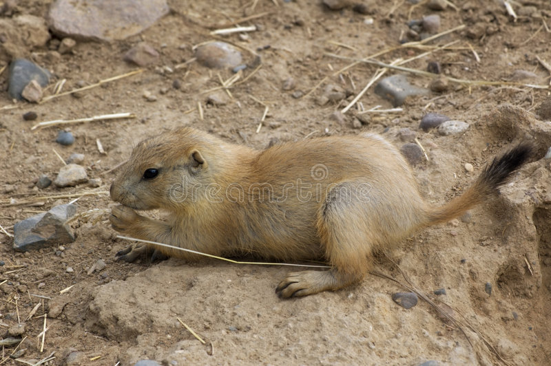 Baby Black-Tailed Prairie Dog (Cynomys ludovicianus) stock images