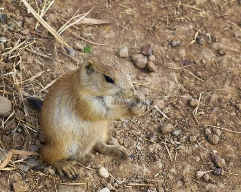 Download Baby Black-Tailed Prairie Dog (Cynomys Ludovicianus) Nibbling Stock Photos - Image: 1066813