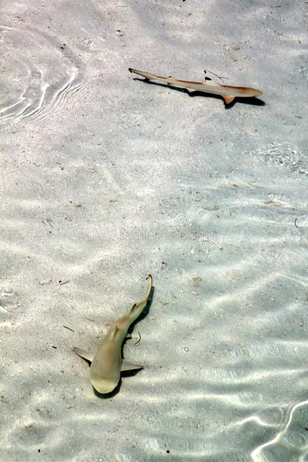 Baby Black Tip Shark Swimming in Pacific Ocean Clear Waters. Baby Black Tip Reef Sharks Swimming in Pacific Ocean Clear Waters royalty free stock photos