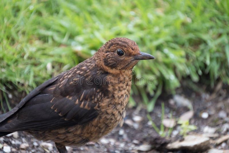 Baby blackbird. A blackbird fledgling exploring the garden royalty free stock images