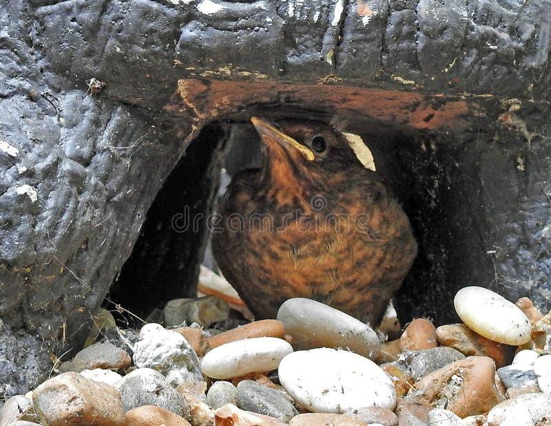 Baby blackbird fledgling hiding under rock. Photo of a cute baby blackbird fledgling bird hiding under a rock in a garden stock photo