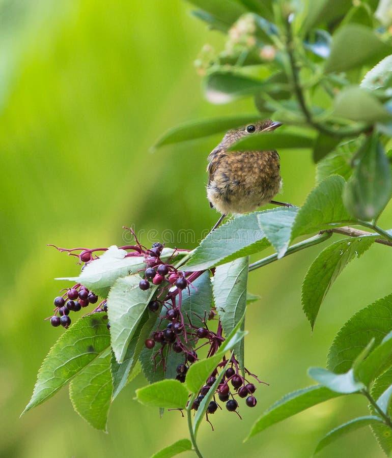 Baby Blackbird hiding in a bush royalty free stock photography