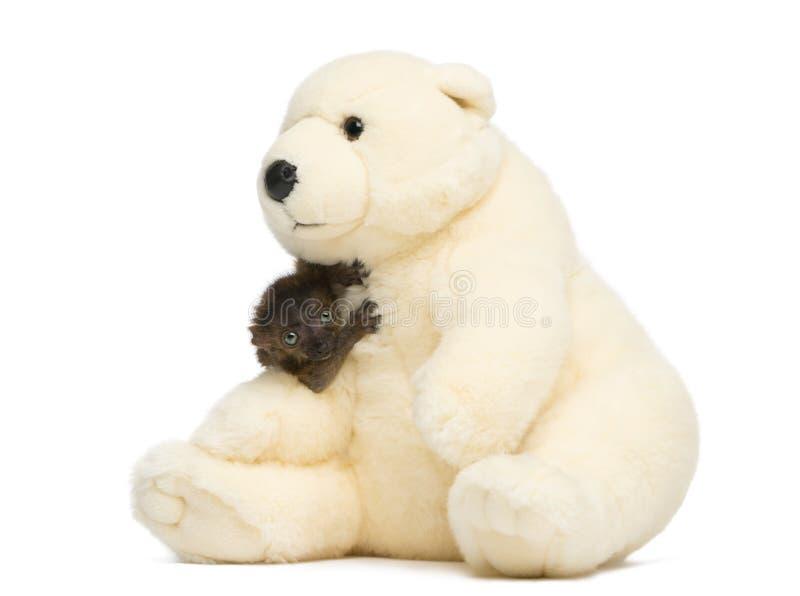 Baby blauw-Eyed Zwart Maki geknuffel met een teddybeer royalty-vrije stock foto's