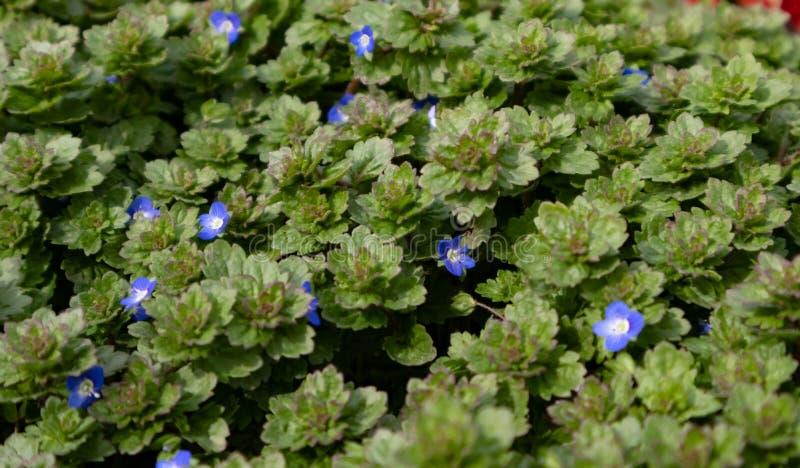 Baby blauwe ogen een de lente wildflower inwoner stock afbeeldingen