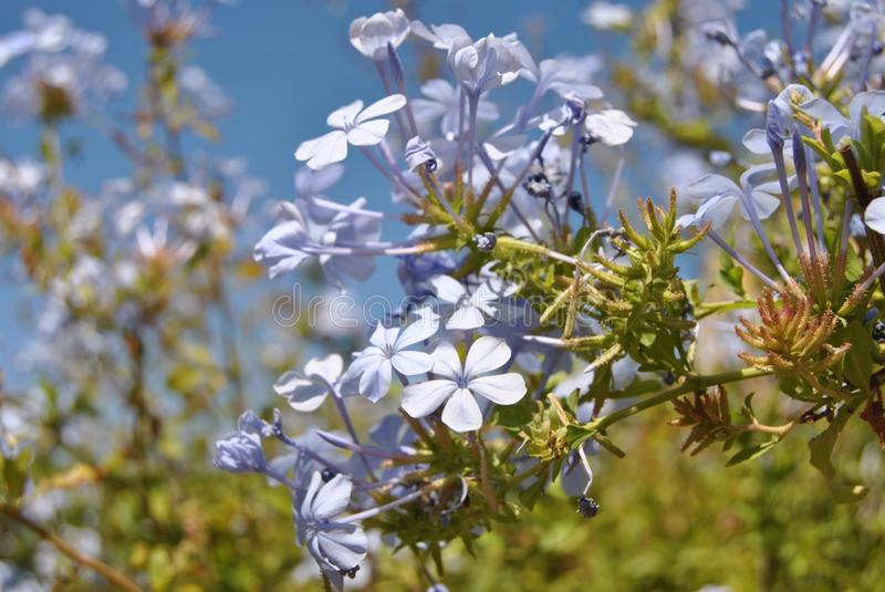 Baby Blue Flowers stock photography