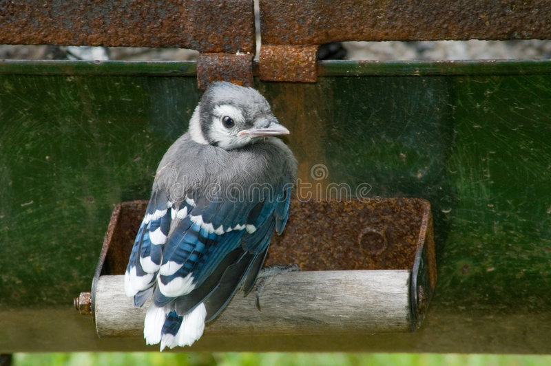 Download Baby Blue Jay stock image. Image of soft, wood, adolescent - 855315