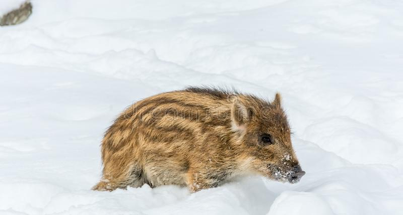 Baby Boar Left Aside by A Tired Nursing Mother stock photos