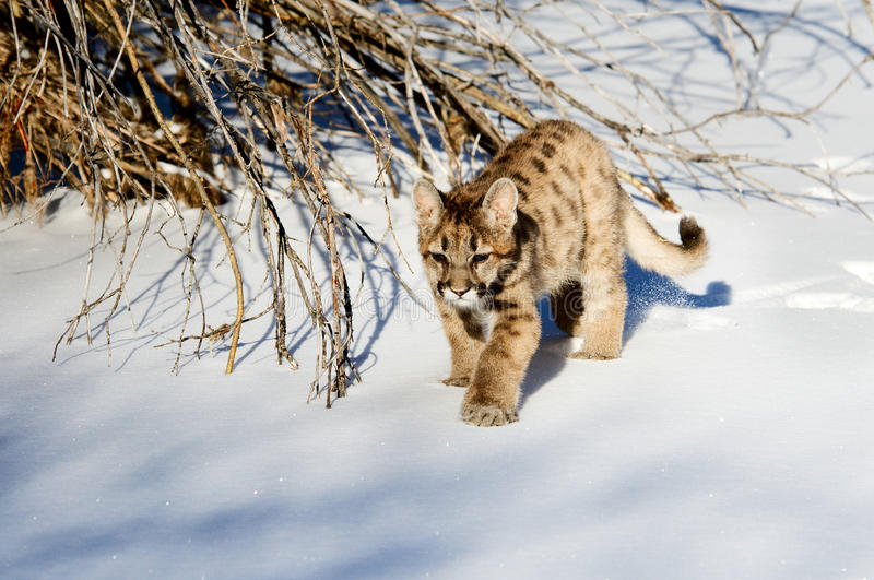 Baby Bobcat Royalty Free Stock Photo