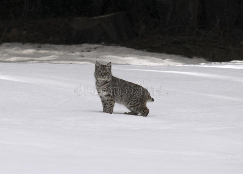 Baby bobcat in the snow royalty free stock photos
