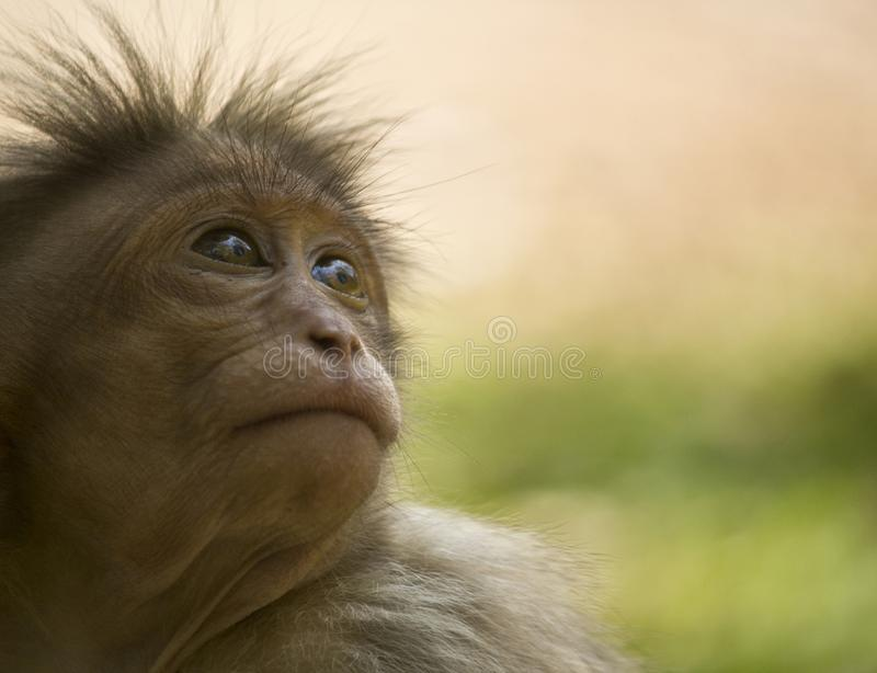 Baby bonnet macaque royalty free stock images