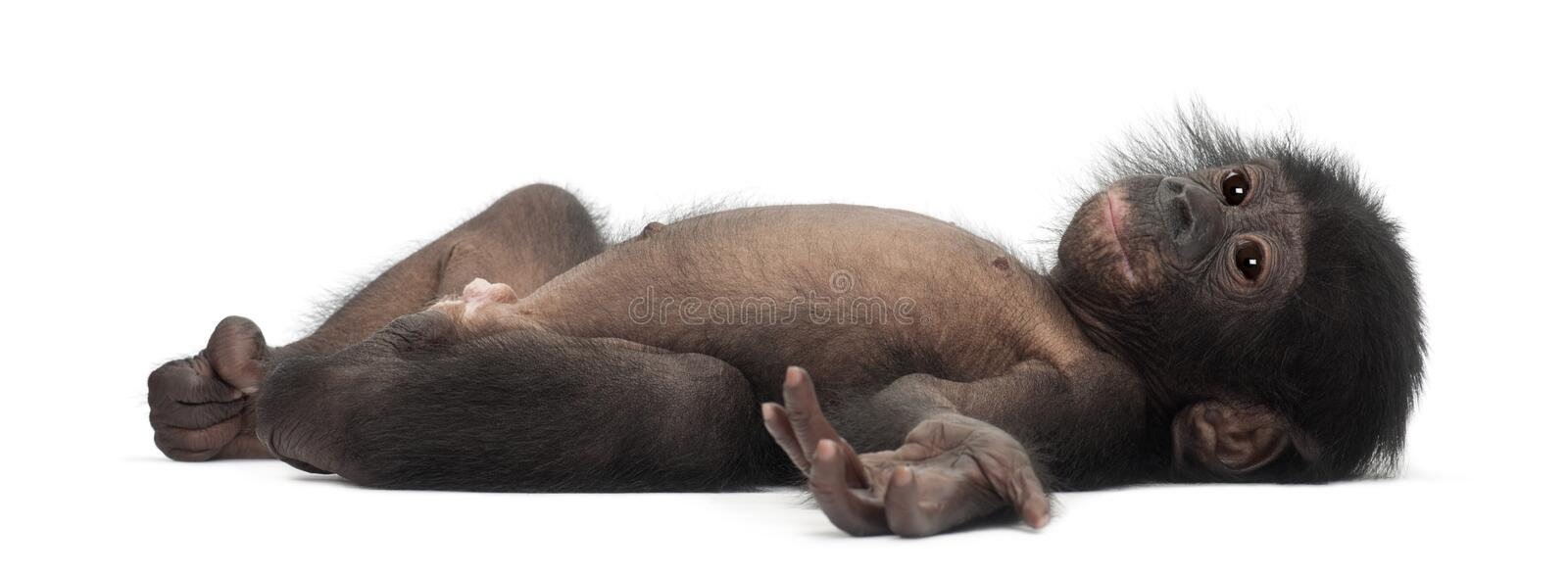 Baby bonobo, Pan paniscus, 4 months old, lying stock photography