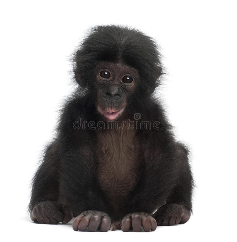 Baby bonobo, Pan paniscus, 4 months old, sitting. Against white background stock photos