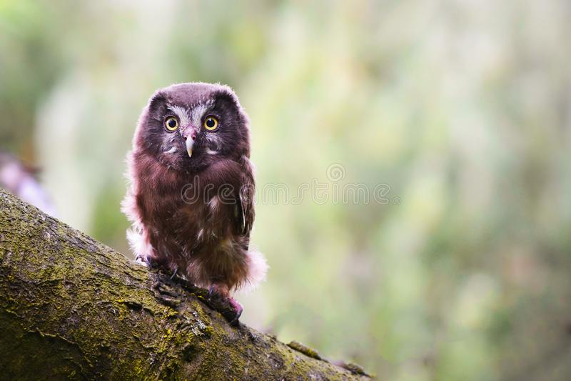 Baby Boreal owl stock images