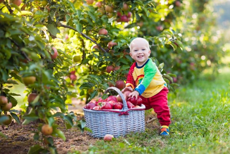 Baby boy picking apples in fruit garden royalty free stock photo