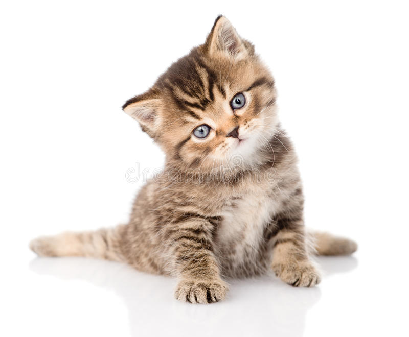 Baby british tabby kitten sitting in front. isolated on white stock image
