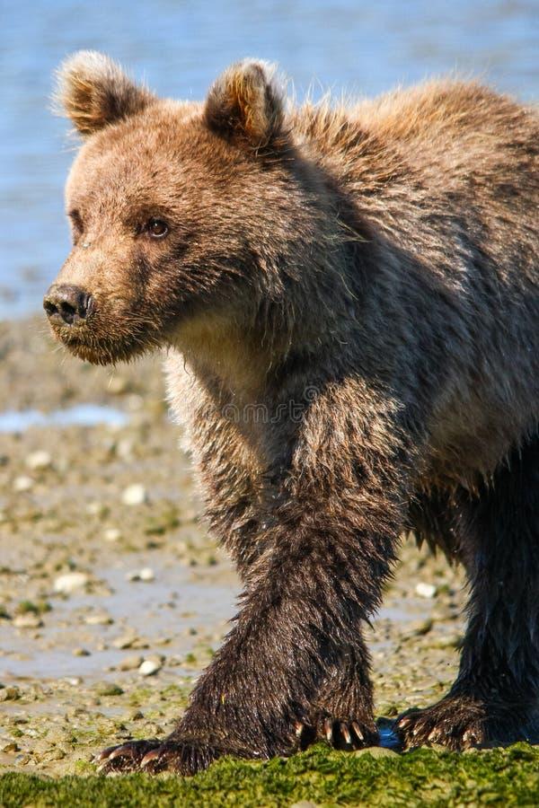 Baby-Brown-Grizzlybär-CUB-Gehen Alaskas nettes lizenzfreie stockfotografie