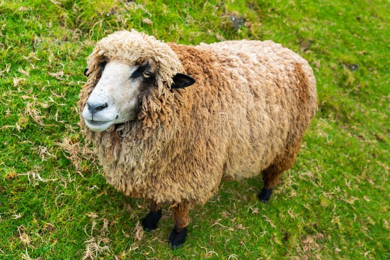 Baby brown sheep stand over green glass stock photo